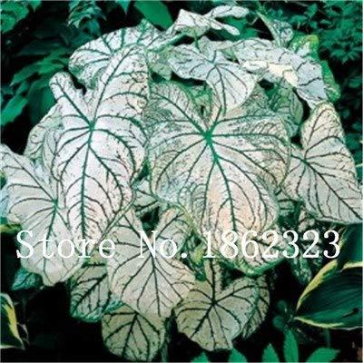 GEOPONICS SEEDS: Verkauf! 100 Stück Caladium Bonsai Caladium Blumen Bonsai Zimmerpflanzen Bonsai Colocasia Anlage für Hausgarten-Topfpflanze: 19
