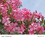 Nerium Oleander Rosenlorbeer rosa blühend 30 Samen