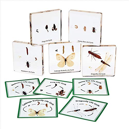 Excellerations Insect Life Cycle Specimens Set of 5 (Item # BUGLIFE)