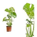Monstera delicosa,Köstliche Fensterblatt,60cm +/- , Zimmerpflanze