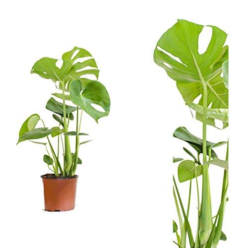 Monstera delicosa,Köstliche Fensterblatt,60cm +/-, Pflegeleichte immergrüne Zimmerpflanzen