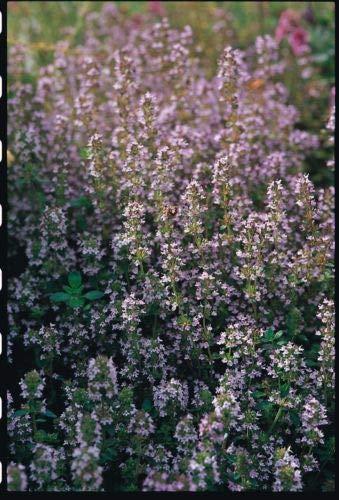 Herb - Suffolk Herbs - Thyme Seed - Thymus vulgaris - Pictorial Pack