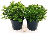MENTA MOJTO BIO 2 PIANTE, piante vere