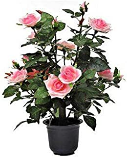 EaglesFord Live Miniature Pink Rose Flower Plant with Pot