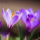 Ukallaite Lot de 100 bulbes de graines de safran Crocus Sativus pour bonsaï, maison, ferme, balcon, cour, décoration de jardin 100 pièces.