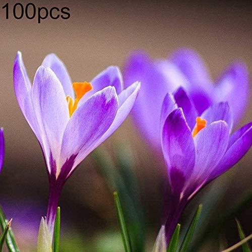 Catkoo 100 Stücke Safrankrokus Sativus Zwiebeln Samen Pflanze Hausgarten Bonsai Blumendekor Geeignet Küche Wohnzimmer Dekoration, Feiertagsfeier, Dekoration 100 Stück