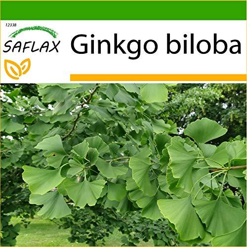 SAFLAX - Ginkgo - 4 graines - Avec substrat - Ginkgo biloba