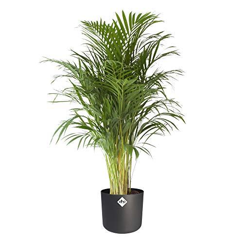 Zimmerpflanze von Botanicly – Goldfruchtpalme in anthrazitfarbenem zylindrischen Übertopf als Set – Höhe: 125 cm – Areca dypsis lutescens