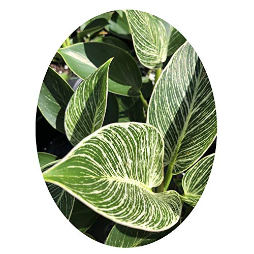 Philodendron Birkin Tropical Live Plant Starter Size White Pinstriped Leaf Houseplant Indoor Outdoor Shade Garden 4 Inch Pot Emerald R