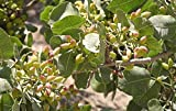 Genipap 10 semillas de árbol de pistacho
