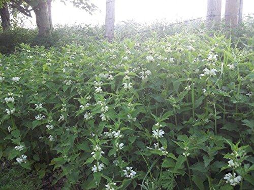 Il vous suffit de graines de fleurs sauvages???Blanc Deadnettle???Lamier Album???100?graines