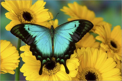 Posterlounge Cuadro de metacrilato 90 x 60 cm: Sea Green Swallowtail Butterfly de Darrell Gulin/Danita Delimont