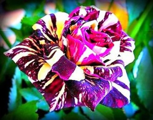 Rose Seeds, Rose Bush, Black Dragon Rose Flower 25 Seeds, Perennial Idaho Seeds