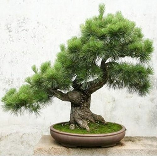 Cinq-Leaved Pine Tree Seeds Potted Paysage japonais Cinq Needle Pine Bonsai Miniascape Seeds 20 graines / paquet
