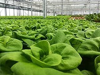 3000 White Boston Lettuce 12