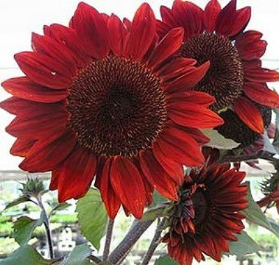 Erbstück 100 Samen Helianthus Sunflower Topinambur Sunroot Rote Blume Groß Seeds B4073