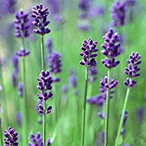 Lavender Herb Seeds Home Balcony Garden Aromatic Plants Flower Seeds for Sale