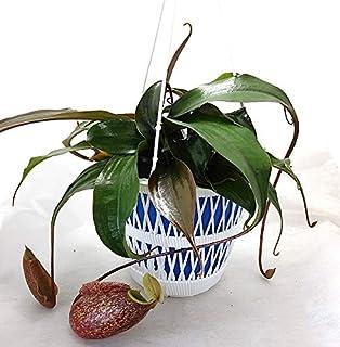 食虫植物 ネペンテス スキ 5号吊鉢 ハイブリッド苗(ラフレシアхシブヤンエンシス)N.rafflesiana x sibuyanensis