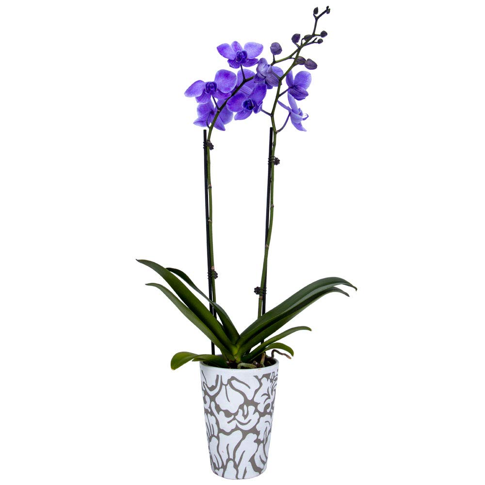DecoBlooms Living Lilac National products Premium Double Stem 5 NEW inc - Orchid Plant