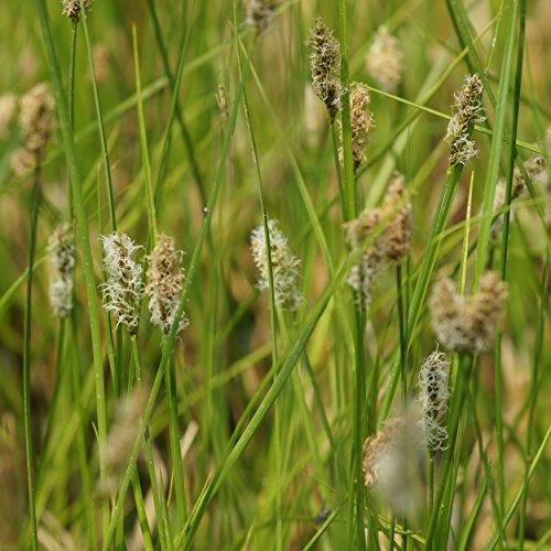 Blumixx Stauden Carex appropinquata - Schwarzschopf-Segge - Wundersegge, im 0,5 Liter Topf, bräunlich blühend