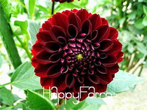 prime vista Hardy Hitzebeständige verschiedene mehrjährige Dahlie-Blumen-Pflanzen, 100 PC/Satz, heller wohlriechender Garten-Bonsai, NSD9SG: 13