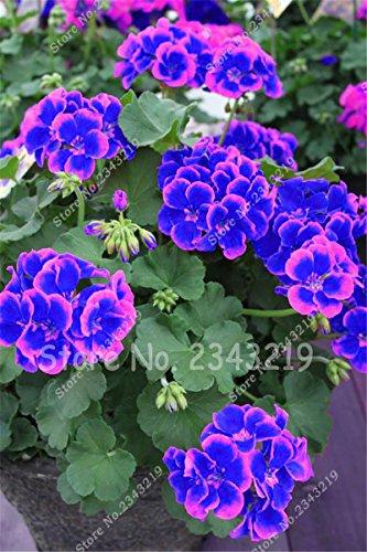 Nueva azules y rosas La plantación de geranios Semillas De Flores Rar