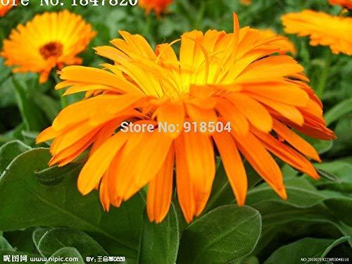 Fleurs de AAA 2016 nouveaux 50pcs pour Choisissez rares graines Fleurs chinois Rose Livraison Fleurs gratuit