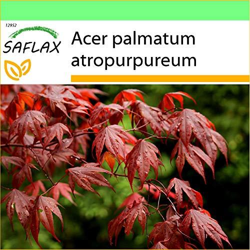 SAFLAX - Jardin dans la boîte - Erable du Japon pourpre - 20 graines - Acer palmatum atropurpureum