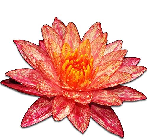 Greenpro Live Aquatic Plant Nymphaea Wanwisa Red Hardy Water Lilies Tuber for...