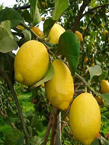 pianta di Limone lunario o 4 Stagioni in Fitocella 2 anni di età altezza 145cm