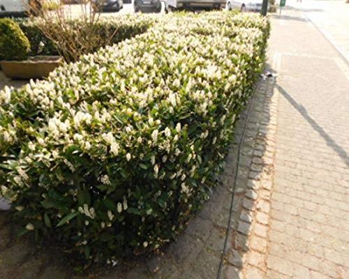 Kirschlorbeer 12 Stück Otto Luyken Prunus lauro. Jungpflanzen T9x9 Pflanzware
