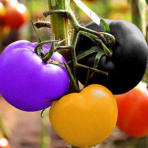 Haihuic Rainbow Tomato Seeds, 200 Piezas de Semillas de Tomate Coloridas, sin OMG, Semillas 100% Naturales, Tomate Ornamental en Maceta para el Cultivo de hogar y jardín