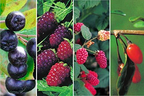 2 x Himbeeren-Brombeeren-Kreuzung, Apfelbeere & Goji-Beeren als Kombination Exotische Beerensorten