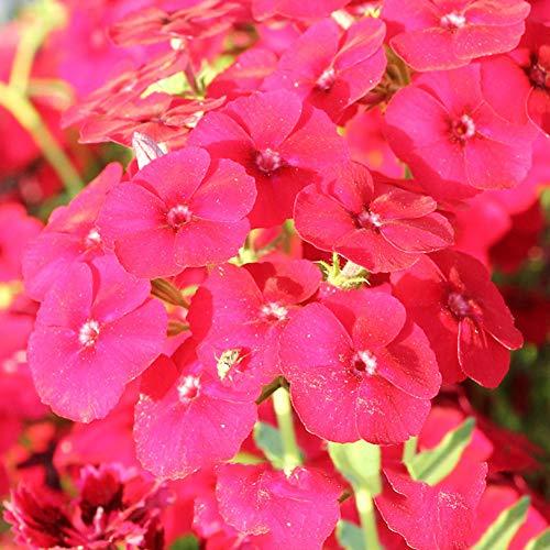 HTHJA Balkonkasten Samen,1000 Stück Bunte Phlox Blumensamen, Indoor Garden ZierblumenRot,Samen für Balkon/Garten