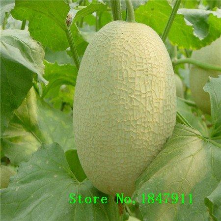 Grande vente de 10 graines graines Musk melon de légumes, très doux, fruit nutritif pour l'été chaud