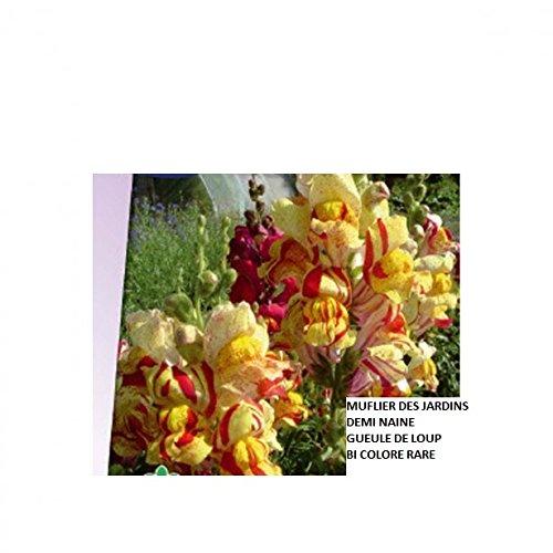 100 Graines semence fleur muflier des jardins demi-naines ou gueule de loup bi colore.