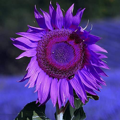 mymotto Blumensamen - 10 Samen/Packung Raritäten Sonnenblumesamen Lila Sonnenblumen für Zaun & Garten