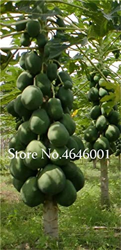 Bloom Green Co. 30 pcs doux Maradol Papaye bonsaïs d'extérieur comestible Tropical Juicy Fruit Jardin Heirloom Jardin Bio nain plantes d'arbres fruitiers: 5