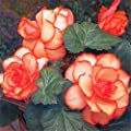 Znadna Seeds - 100pcs Fragrance Begonia Bulbs Flower Seeds Hanging Basket Begonia Collection one of The Most Popular perennials for Shade!