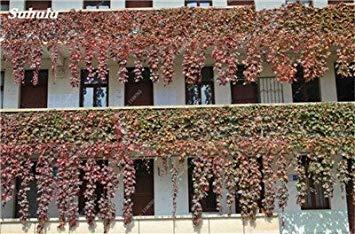 VISTARIC 9: Mix Boston Seeds 100% vrai Parthenocissus tricuspidata semences Plantes d'extérieur QUASIMENT soins décoratifs Escalade usine 100 Pcs 9