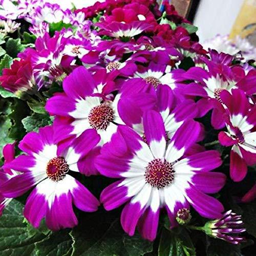 Cineraria Mix Semi di fiori 15+ Organici facili da coltivare (Senecio cruentus) Wildflower Jester Mix Semi di altissima qualità per giardino bonsai Piantagione di colture indoor per esterni