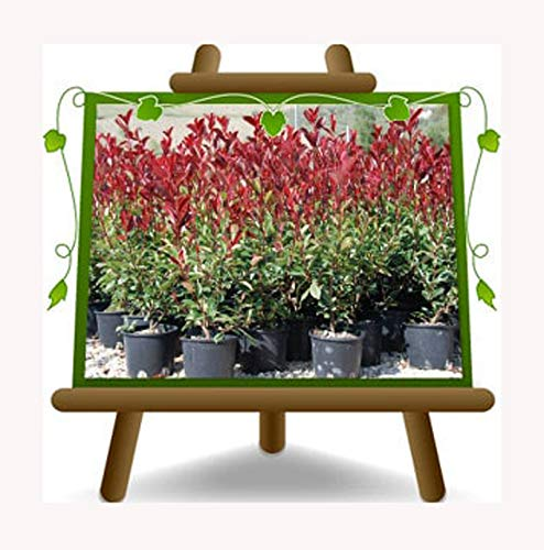 Photinia Fraseri Red Robin - Pianta da siepe - su vaso da 18 - altezza 80/100 cm