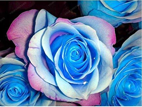 100pcs rayure bleue Rose Rare Rose Graines de fleurs Belle jardin Plantes d'ornement Cour en pot usine Livraison gratuite