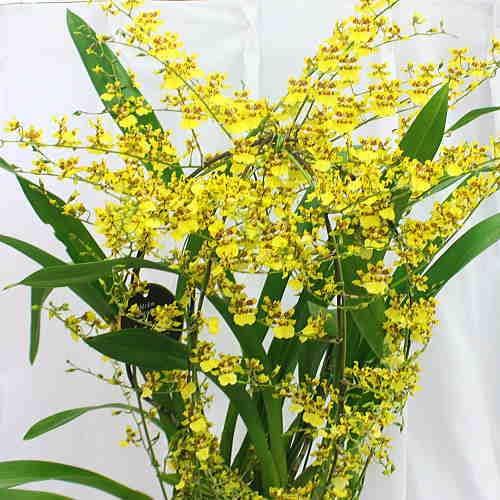 オンシジューム(オンシジウム)鉢植え(生花) 黄色 幸せの黄色い花