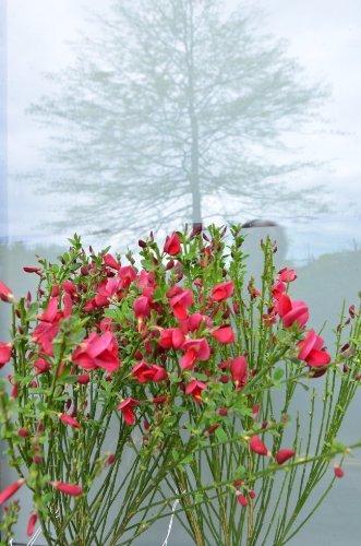 Ginster leuchtendrot Cytisus scoparius Boskoop Ruby 40-60 cm hoch im 3 Liter Pflanzcontainer