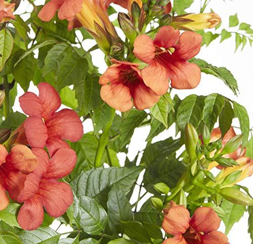 Trompetenblume - Campsis - blühende Kletterpflanze (Campsis Summer Jazz Fire Trumpet)