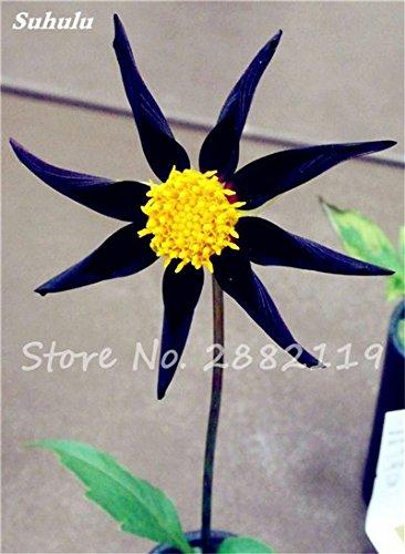 20 Pcs Graines de fleurs Dahlia Chineses Charme Bonsai Fleurs Belle (pas Dahlia Bulbes) Haut Germination jardin Plante en pot 14
