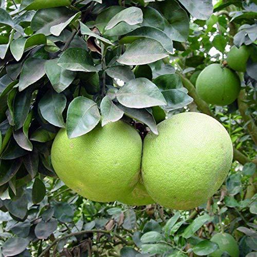 puran 1 Beutel Grapefruit Samen zum Bepflanzen, frisch duftende frische Home Pflanze Samen, selber wachsen, ideal für Behälter - Pomelo Samen