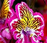 Mehrfarbenschmetterlings-Orchideen-Blumensamen 80 SAMEN - KAUF 4 EINZELTEILE