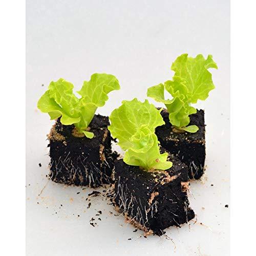 Gemüsepflanzen - Lollo Salat - Lactuca sativa var. crispa - 12 Pflanzen